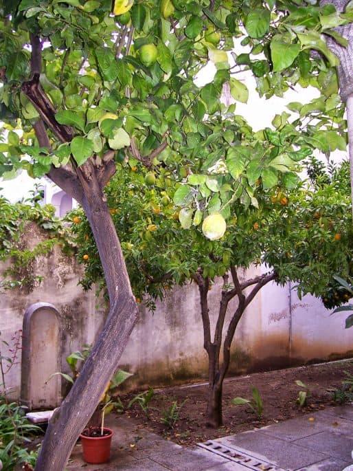 Árvores frutíferas na entrada da Capela dos Ossos