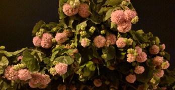 Hortênsia pode virar árvore?