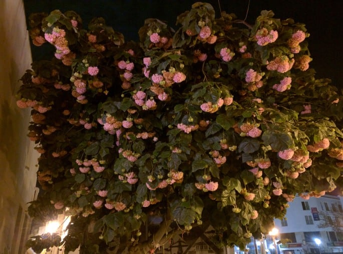 Hortênsia vira árvore