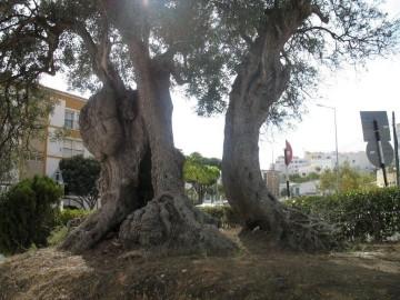 A oliveira mais antiga de Portugal