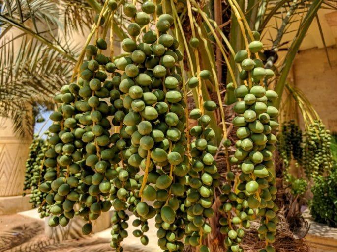 Tâmaras verdes no Egito.